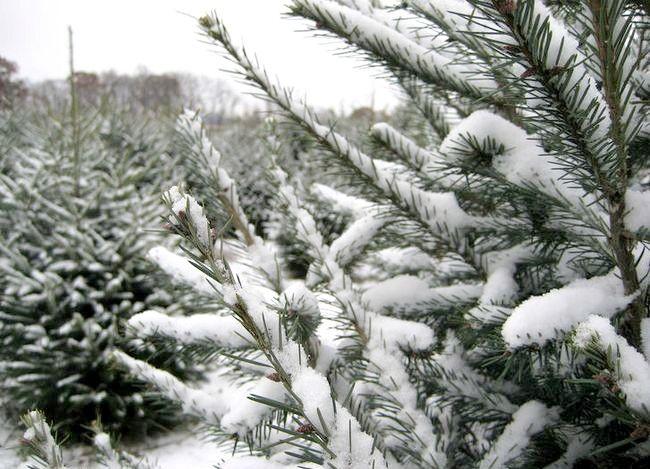 Imaginea intitulată 2007 12 02 (tăierea copacului de Crăciun) 026