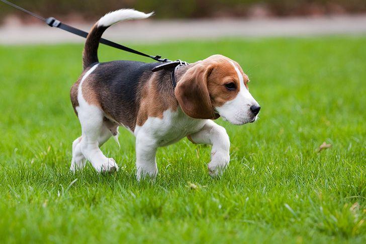 Care leșină de câine este cea potrivită pentru câinele meu?