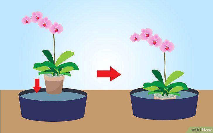 Cum se repetă orhideele