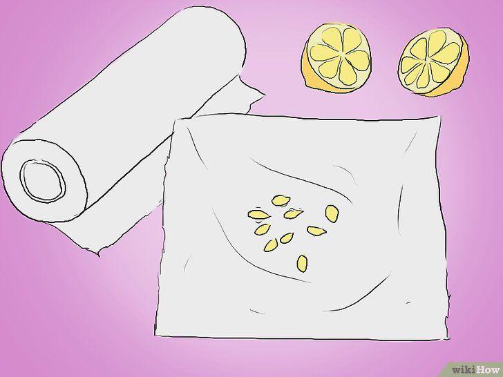 Trageți lămâi din semințe