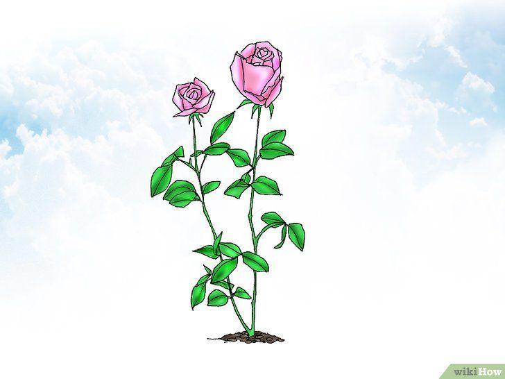 Trageți trandafiri pitici